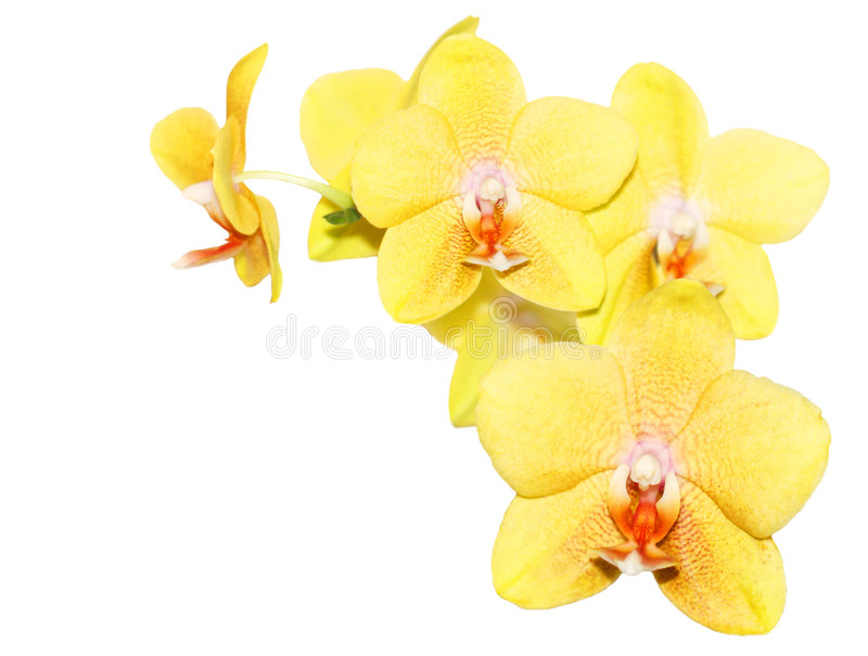 Yellow orchid stock photo image of nature beautiful 7969572 fresh yellow orchid flowers isolated on white mightylinksfo