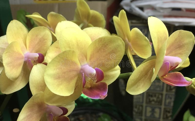 Yellow orchid blooms. Orchid potted plant brightens up the indoors with multitude of yellow and pink flowers royalty free stock photo