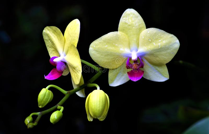 Yellow orchid duo. This duo highlights both welcome sunlight and mysterious darkness in the Hawaii Tropical Botanical Garden near Hilo.  The fuschia centers are royalty free stock images