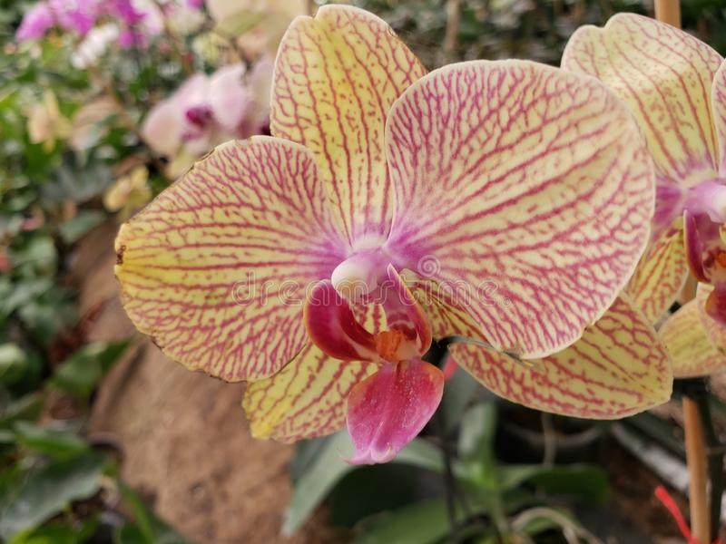 Yellow orchid flower with pink in a tropical garden in spring season. Nature, natural, plant, flower, floral, petal, spring, summer, season, garden, gardening stock images
