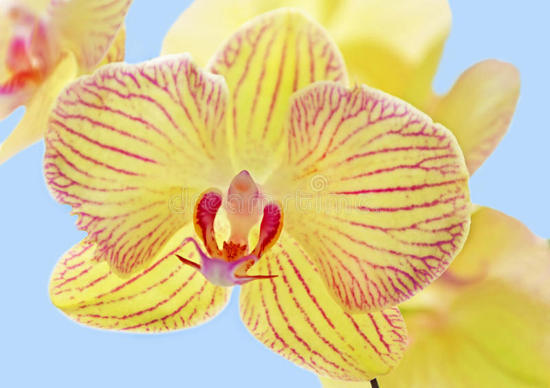 Yellow orchid stock image