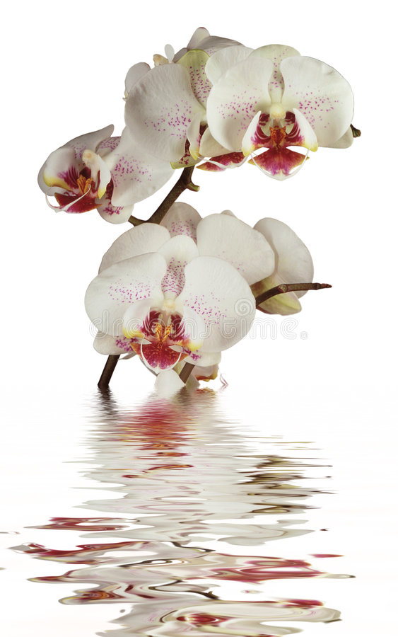 Yellow orchid in water royalty free stock image