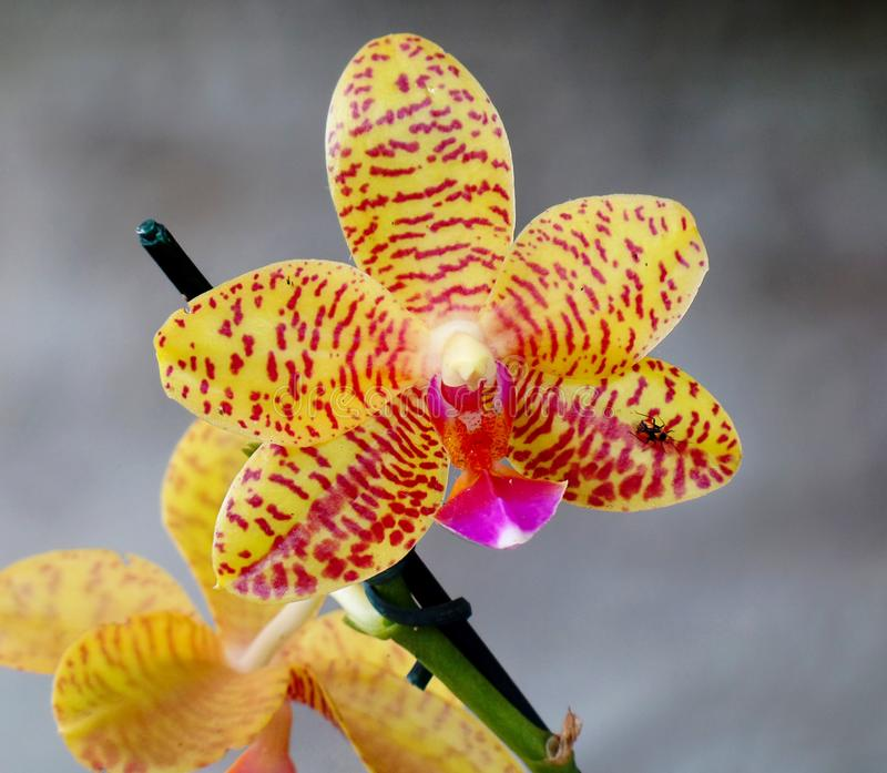 Yellow Orchidaceae Phalaenopsis Charmer in the garden.  royalty free stock photo