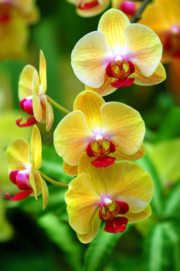 Yellow Orchids stock photos