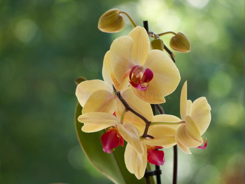 Yellow orchids. On a blurred background stock photo