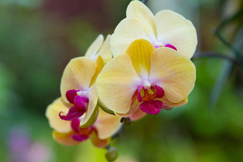 Yellow Orchids. Yellow Orchid flower on blur background stock images