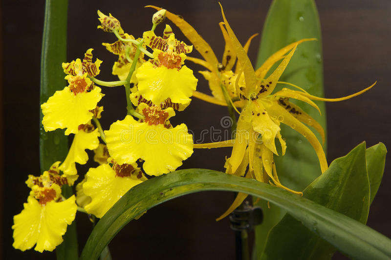 Yellow orchids stock photography
