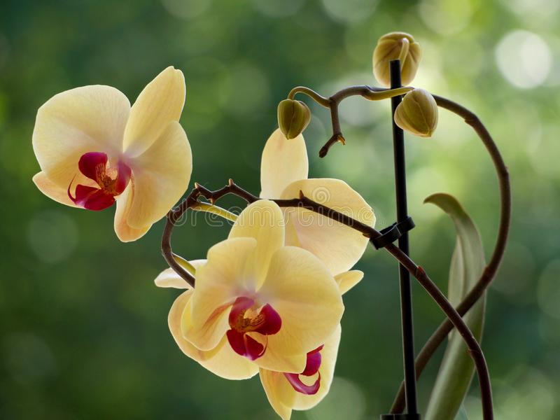 Yellow orchids. On a blurred background stock photography