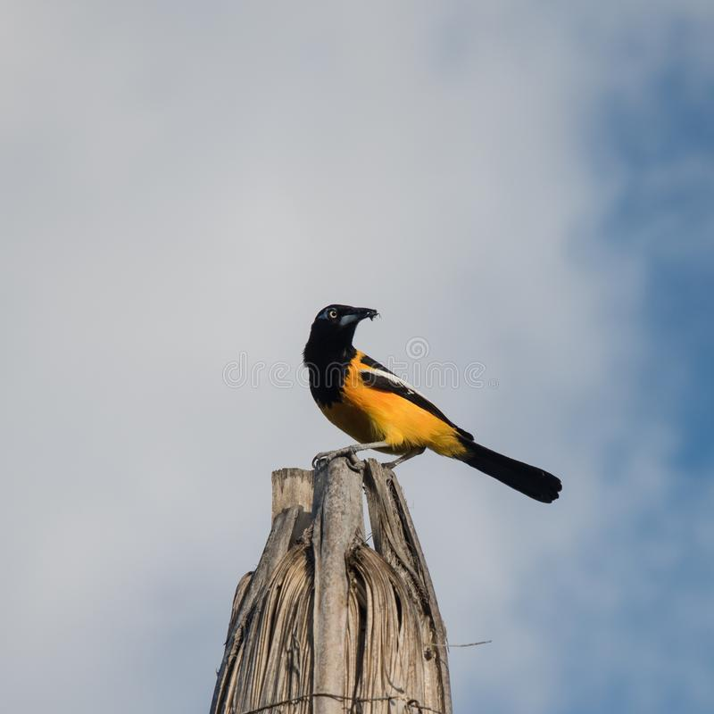 Yellow oriole of Curacao royalty free stock photography