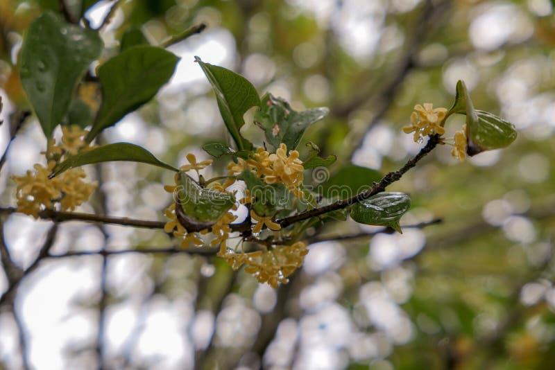 Osmanthus fragrans on osmanthus tree after rain stock photos
