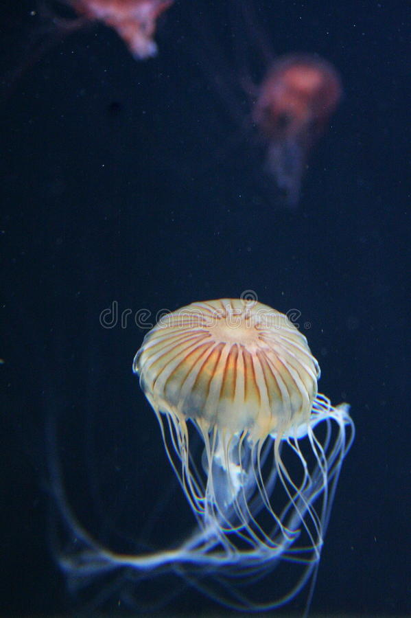 Free Yellow Pacific Sea Nettle Stock Photography - 10918842