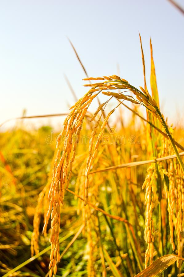 Yellow paddy at farmland royalty free stock images