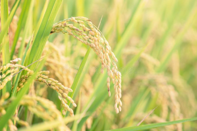 Yellow paddy field swaying over sunset day time in Asia. Raw short grain rice crop stalk, ears detals, organic agriculture farming. Concept, close up stock image
