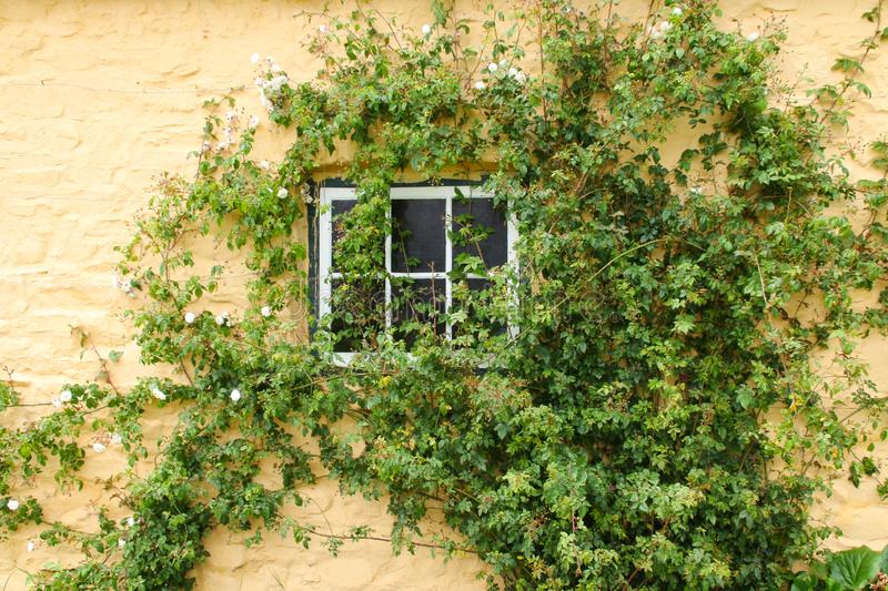 White climbing roses around a cottage window stock images