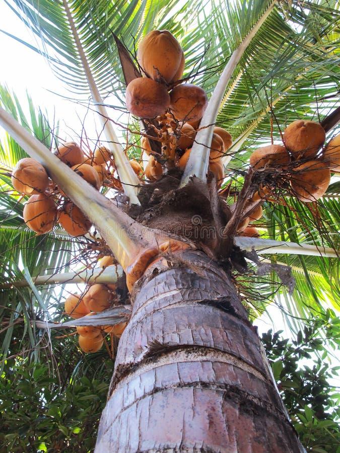 Yellow Palm Coconut Tree, Low Angle Shot.  stock photos