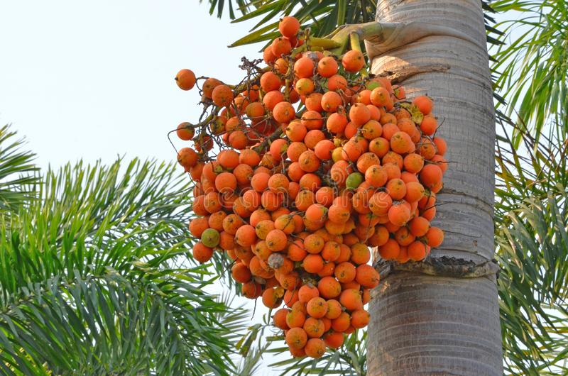 Yellow palm fruits on the tree with green leaves royalty free stock photography