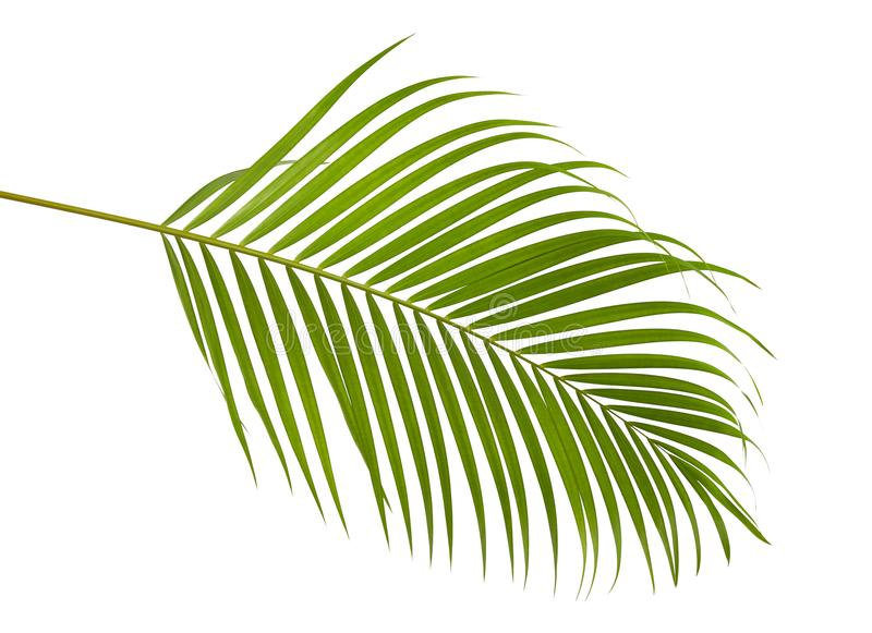 Yellow palm leaves Dypsis lutescens or Golden cane palm, Areca palm leaves, Tropical foliage isolated on white background stock photo