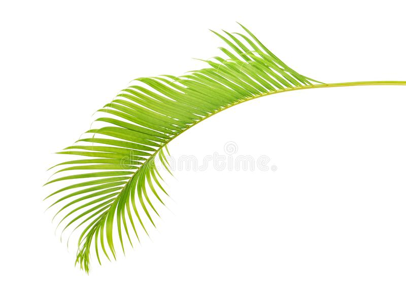 Yellow palm leaves Dypsis lutescens or Golden cane palm, Areca palm leaves, Tropical foliage isolated on white background with c stock photos