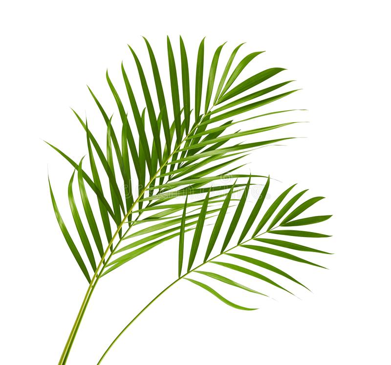 Yellow palm leaves Dypsis lutescens or Golden cane palm, Areca palm leaves, Tropical foliage isolated on white background royalty free stock photography