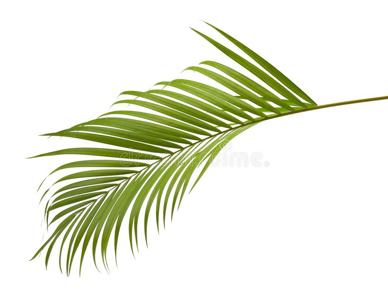 Yellow palm leaves Dypsis lutescens or Golden cane palm, Areca palm leaves, Tropical foliage isolated on white background stock images