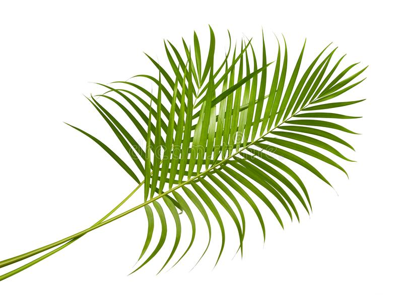 Yellow palm leaves Dypsis lutescens or Golden cane palm, Areca palm leaves, Tropical foliage isolated on white background stock photos