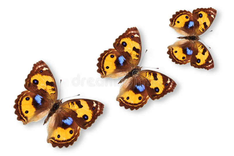 Yellow Pancy Butterfly stock photo