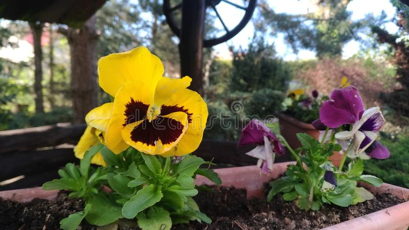 Yellow pansy. stock images