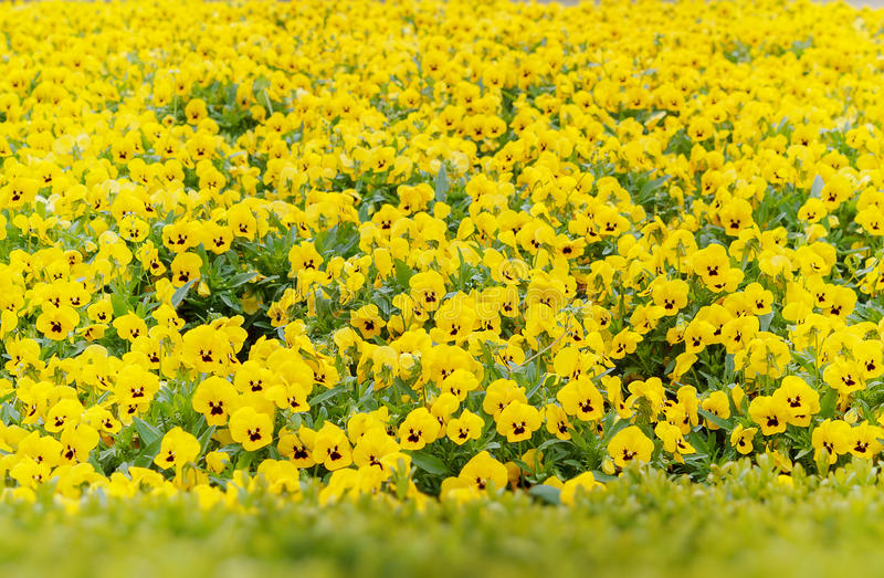 Download Yellow pansy flowers stock image. Image of object, color - 29747799