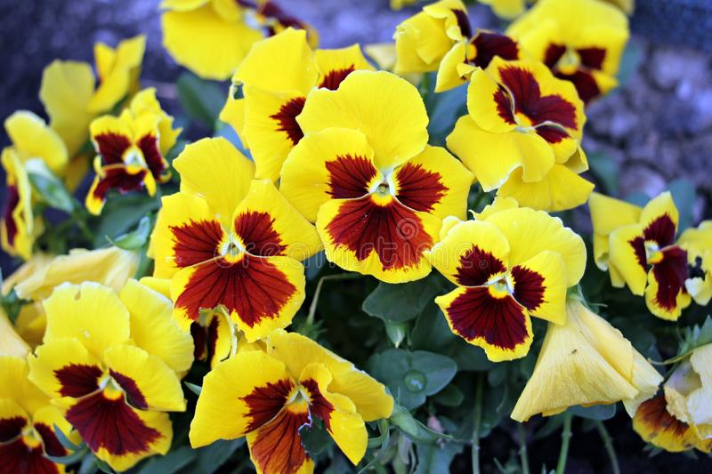 Yellow pansy - viola tricolor - flowers in the garden royalty free stock image
