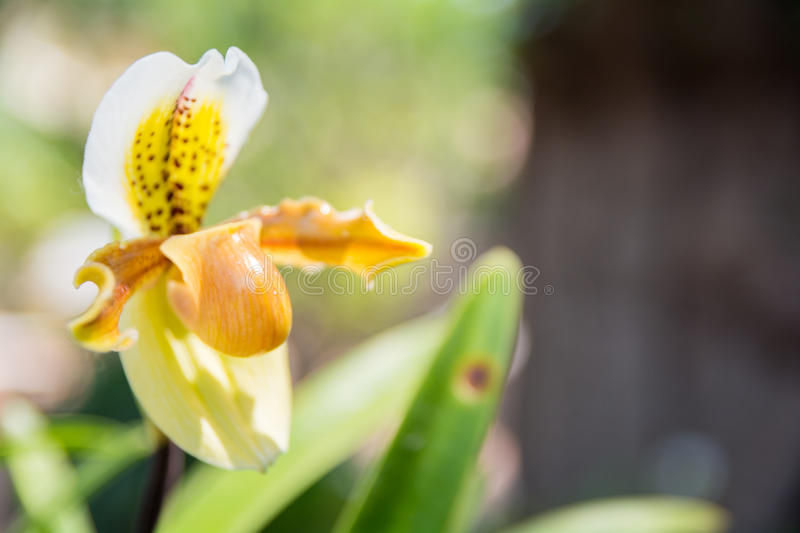 Yellow Paphiopedilum orchid. Beautiful yellow Paphiopedilum orchid in Thailand,Close up of beautiful orchid stock photo