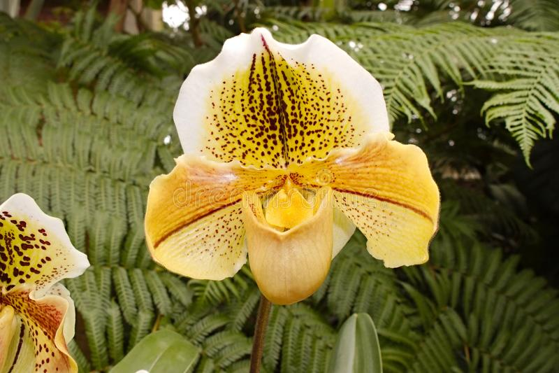 Yellow Paphiopedilum Orchid. An orchid with many shades of yellow, and maroon highlights. Paphiopedilum is a subfamily of Cypripedioideae; Family: Orchidaceae royalty free stock image