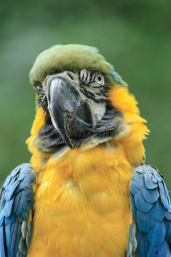 Download Yellow parrot stock image. Image of walking, attentive - 10390393