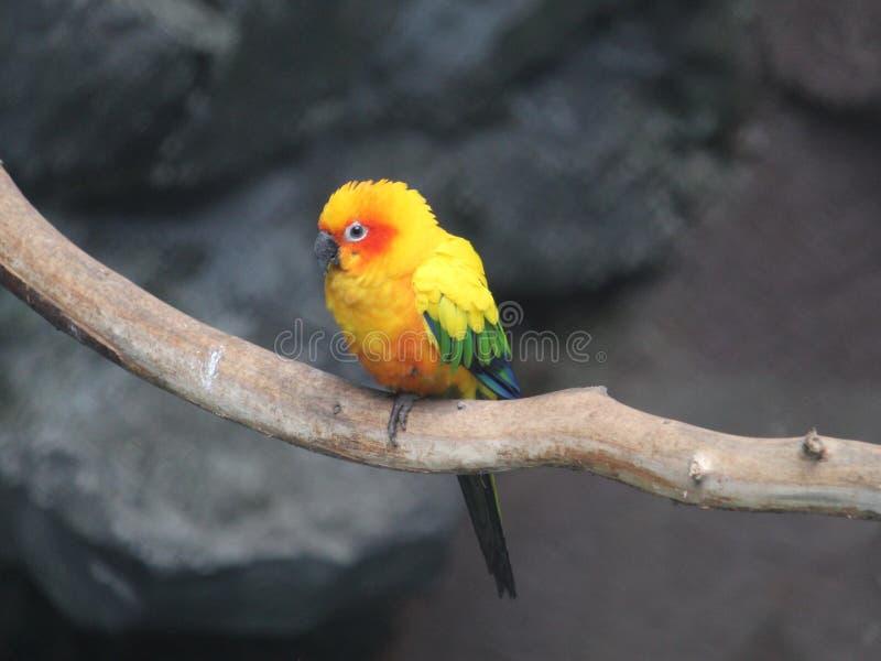 yellow parrot in captivity stock photo