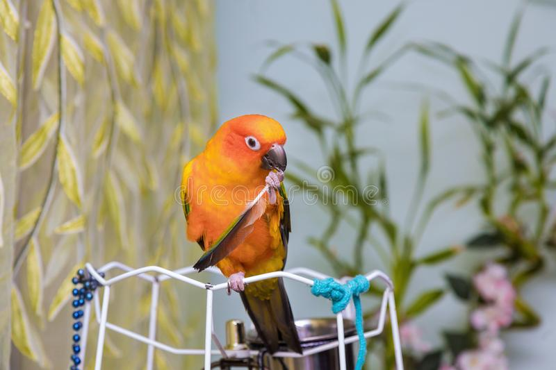 The yellow parrot holds of the feathers. Sitting on the branch, parrots, bird, animal, friendly, pretty, cute, nature, colorful, beautiful, tropical, pet stock photography
