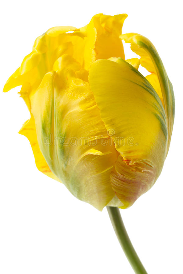 Yellow parrot tulip stock photo. Image of single, white ...
