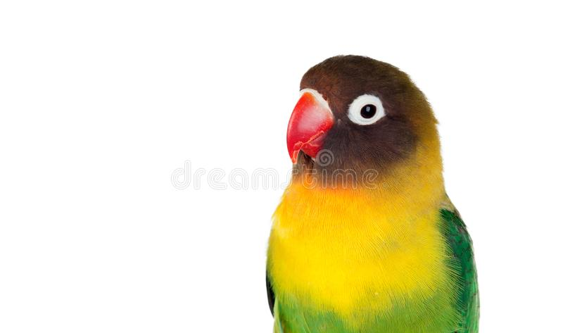 Yellow parrots with red beak. Lisolated on a white background stock photos
