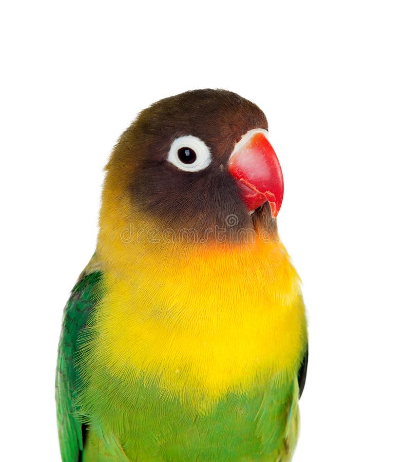 Yellow parrots with red beak. Lisolated on a white background royalty free stock photo