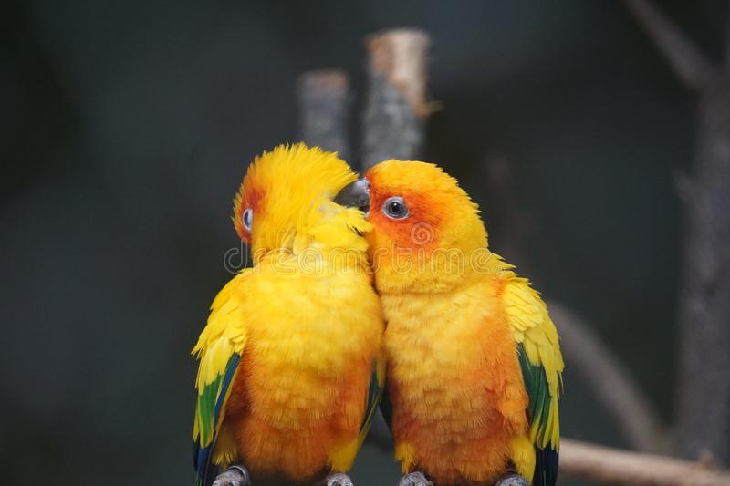 Two yellow birds are sitting on the branch. stock photos