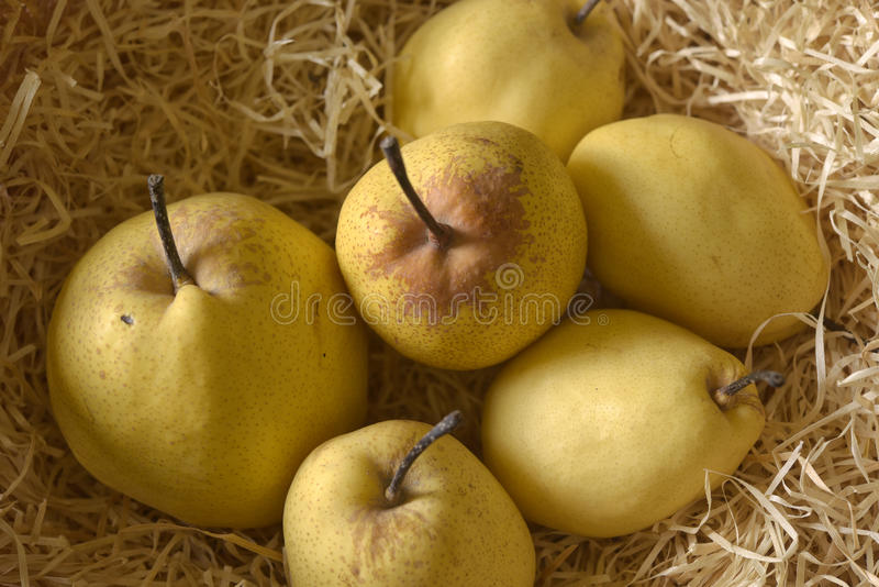 Yellow pear Duchesse in dry straw stock image