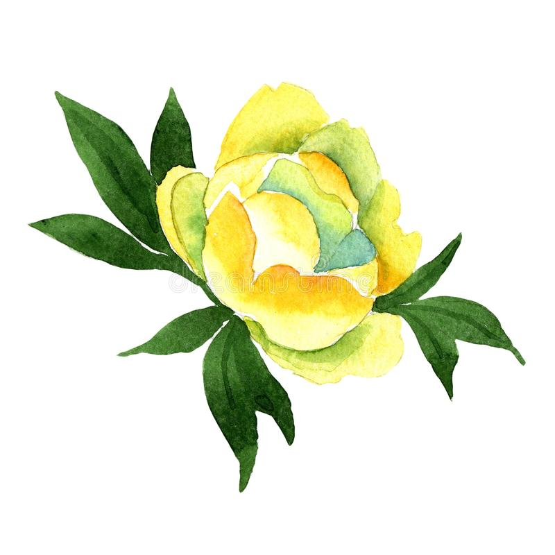 Yellow Peony. Floral botanical flower. Wild spring leaf wildflower isolated. Aquarelle wildflower for background, texture, wrapper pattern, frame or border vector illustration