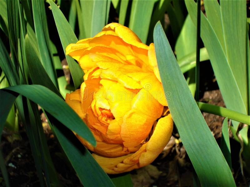Yellow peony tulip with green leaves. Natural background. Close-up. royalty free stock photos