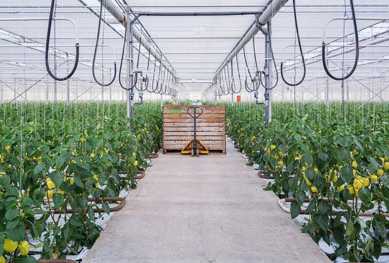Yellow peppers growing in a big greenhouse in the Netherlands royalty free stock photo