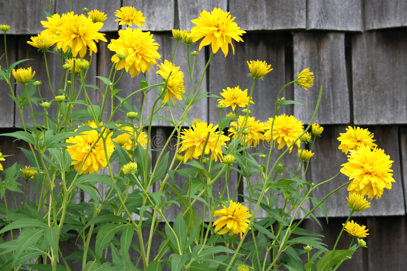 Download Yellow Perennial stock image. Image of fluffy, contrast - 1062589