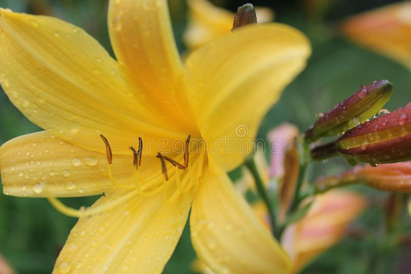 Yellow Petaled Flower stock images