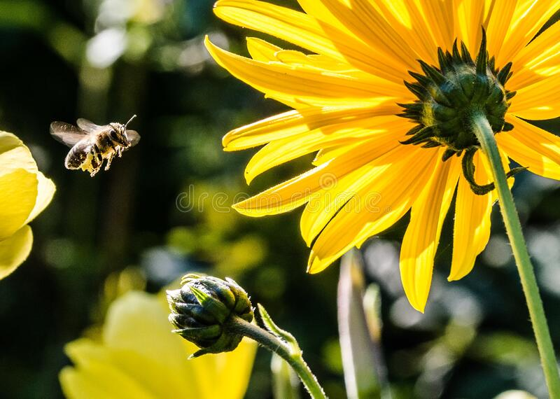 Yellow Petaled Flower With Black Yellow Bee during Daytime Focus Photography royalty free stock photography