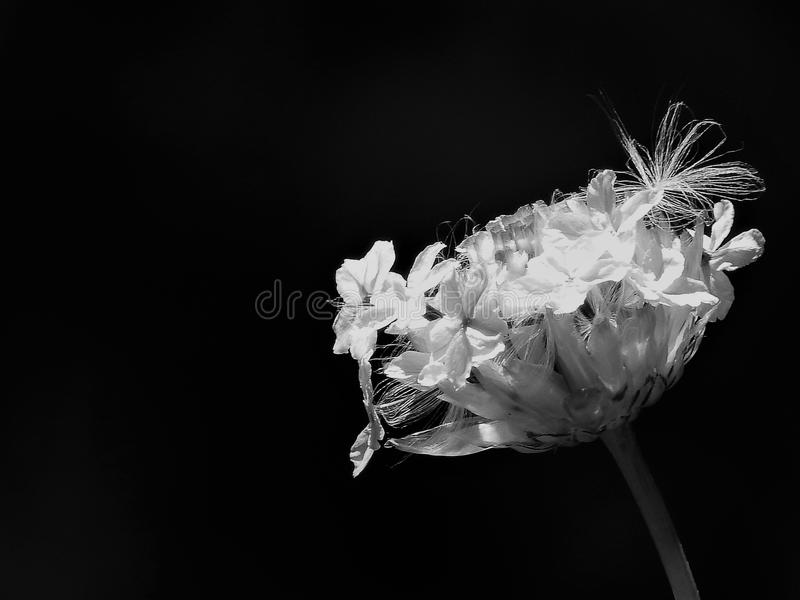 Yellow Petaled Flowers Grayscale Photo royalty free stock image