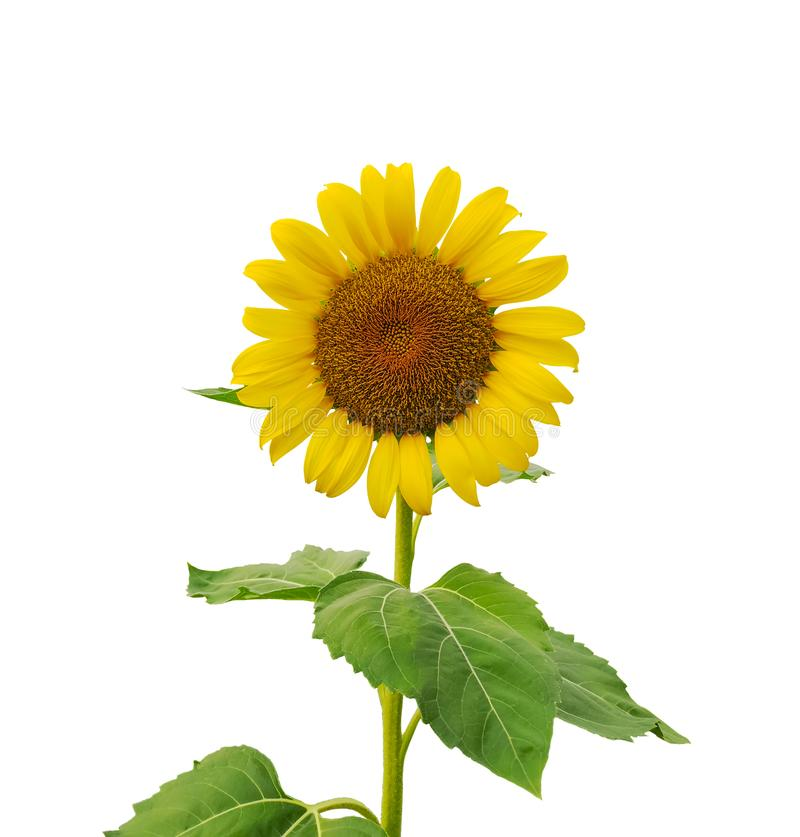 Yellow petals of Sunflower blooming on stem and green leaves isolated on white background, die cut with clipping path stock image