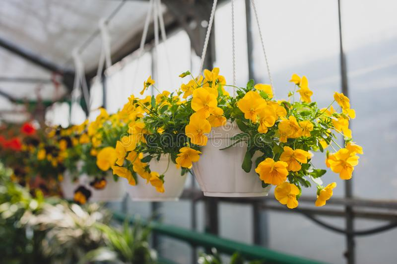 Yellow petunias flowers hanging in a pot. Yellow petunias flowers hanging in a pot in the greenhouse royalty free stock photo
