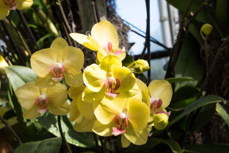 Yellow phalaenopsis orchid stock photos