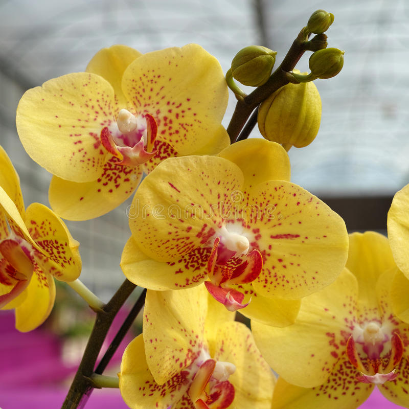 Download Yellow Phalaenopsis (Orchid) Stock Photo - Image: 36812534